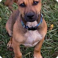 Beagle Mix Puppy for adoption in Fairfax, Virginia - Charlie