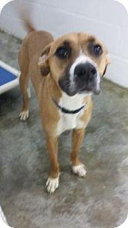 Boxer Mix Dog for adoption in Paducah, Kentucky - Bogart
