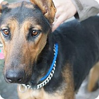 Doberman Pinscher/Shepherd (Unknown Type) Mix Dog for adoption in Seattle, Washington - Clover