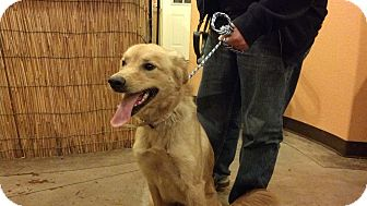 Golden Retriever Mix Dog for adoption in Brattleboro, Vermont - Caramel