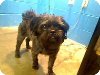 Shih Tzu/Brussels Griffon Mix Dog for adoption in Antioch, Illinois - Baxter
