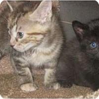 Adopt A Pet :: Bengal Sisters - Dallas, TX