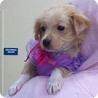 Adopt A Pet :: Chloe - Encinitas, CA