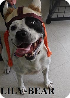 Bull Terrier Mix Dog for adoption in Franklin, North Carolina - LILY-BEAR