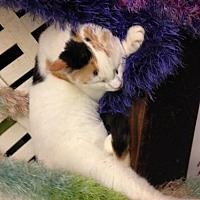 Calico Cat for adoption in Fresno, California - Tetley