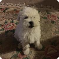 Adopt A Pet :: Matisse - Lodi, CA