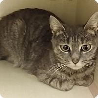 Domestic Shorthair Cat for adoption in Westbury, New York - Skylar