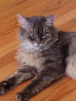 Domestic Mediumhair Cat for adoption in Sherman Oaks, California - Poofy