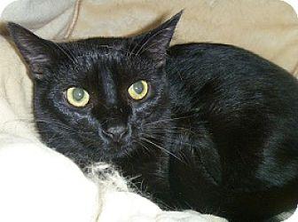 Domestic Shorthair Cat for adoption in Hamburg, New York - Cola