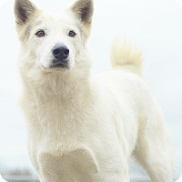 Shepherd (Unknown Type)/Great Pyrenees Mix Dog for adoption in Wilwaukee, Wisconsin - A - BLANCO