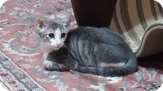 Domestic Shorthair Kitten for adoption in Bulverde, Texas - Jasper 2