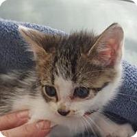 Adopt A Pet :: Sugar Magnolia - St.Ann, MO