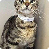 Domestic Shorthair Cat for adoption in Oswego, Illinois - Phoebe