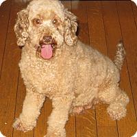 Poodle (Miniature) Mix Dog for adoption in New Middletown, Ohio - Autumn