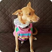 Adopt A Pet :: Dazzler - Holliston, MA