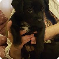 Adopt A Pet :: Hazel - Rancho Santa Fe, CA