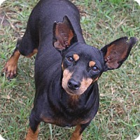 Adopt A Pet :: Mona the minpin - Austin, TX
