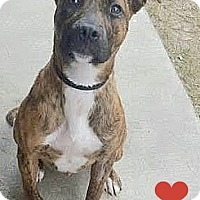 Adopt A Pet :: 409251 Khan - San Antonio, TX