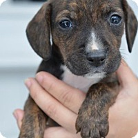 Adopt A Pet :: Billy - Danbury, CT