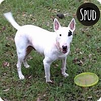 Adopt A Pet :: Spud - Lake Worth, FL