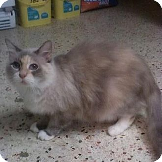 Siamese Cat for adoption in Lantana, Florida - Fluffels