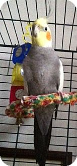 Cockatiel for adoption in Shawnee Mission, Kansas - Moe