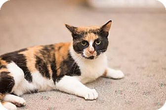 American Shorthair Cat for adoption in Baltimore, Maryland - Calista