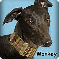 Adopt A Pet :: Monkey - Seattle, WA