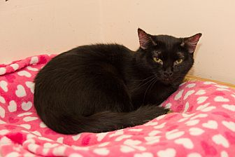 Domestic Shorthair Cat for adoption in Chicago, Illinois - Batman