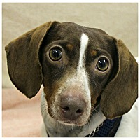 Adopt A Pet :: Jade - Forked River, NJ