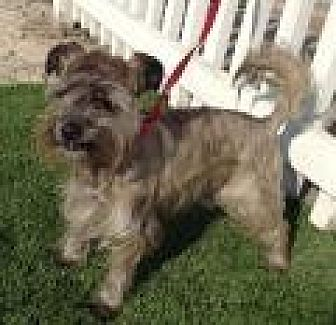 Schnauzer (Miniature)/Cairn Terrier Mix Dog for adoption in Santa Ana, California - Toto
