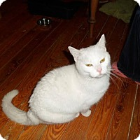 Adopt A Pet :: Snowball - Leamington, ON