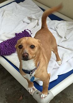 Corgi/Terrier (Unknown Type, Medium) Mix Dog for adoption in Santa Clarita, California - Cooper