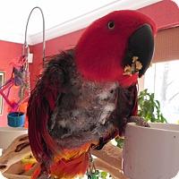 Adopt A Pet :: Scarlet - St. Louis, MO