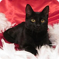 Domestic Shorthair Cat for adoption in St. Louis, Missouri - Pepper