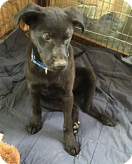 Labrador Retriever Mix Puppy for adoption in Newtown, Connecticut - Ruger
