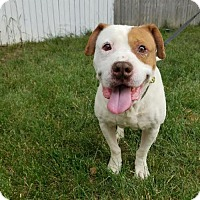 American Staffordshire Terrier Mix Puppy for adoption in Denver, Colorado - Saylor