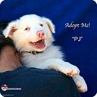 Adopt A Pet :: PJ - Acton, CA