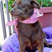 Chihuahua Mix Dog for adoption in San Diego, California - Canelita