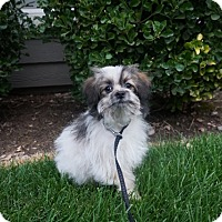 Adopt A Pet :: Teddy Bear - Sandy, UT