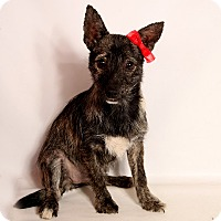 Adopt A Pet :: Reva Wirehair - St. Louis, MO