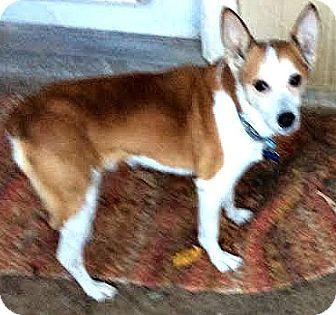 Corgi/Australian Cattle Dog Mix Dog for adoption in Boulder, Colorado - Pal