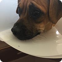 Adopt A Pet :: Niklaus - Las Vegas, NV