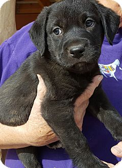 Labrador Retriever Mix Puppy for adoption in Phoenix, Arizona - Pappy