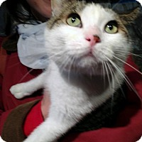 Domestic Shorthair Cat for adoption in Brooklyn, New York - Bento the Lap Cat! Awesome Kitty!