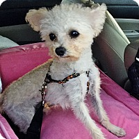 Adopt A Pet :: Beckham - Irvine, CA