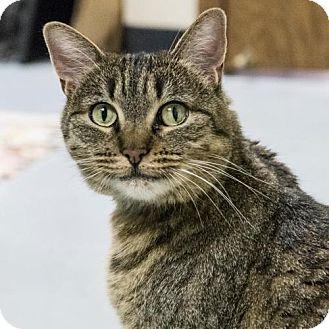 Domestic Shorthair Cat for adoption in St. Paul, Minnesota - Juniper