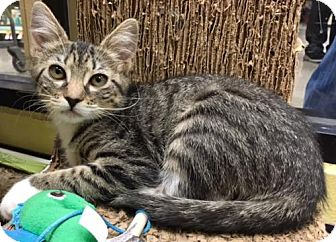 Domestic Shorthair Kitten for adoption in Long Beach, California - South
