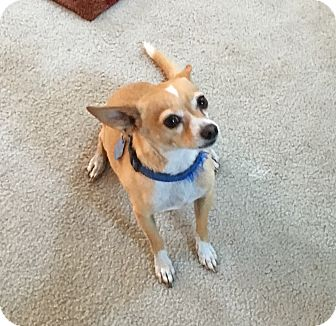 Chihuahua Mix Dog for adoption in Yorba Linda, California - Hercules- quiet calm cuddlebug