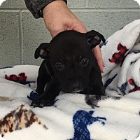 Adopt A Pet :: Whiskey - Allentown, PA